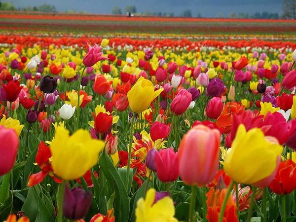weddingstylist toulipes gamos louloudia Τα 10 πιο δημοφιλή λουλούδια για γάμο