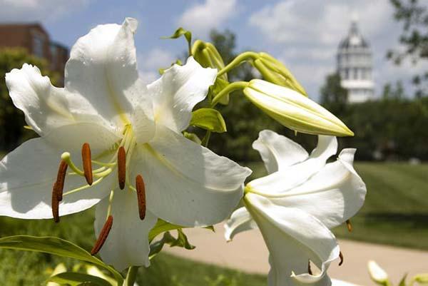 weddinstylist casablanca lily Τα 10 πιο δημοφιλή λουλούδια για γάμο